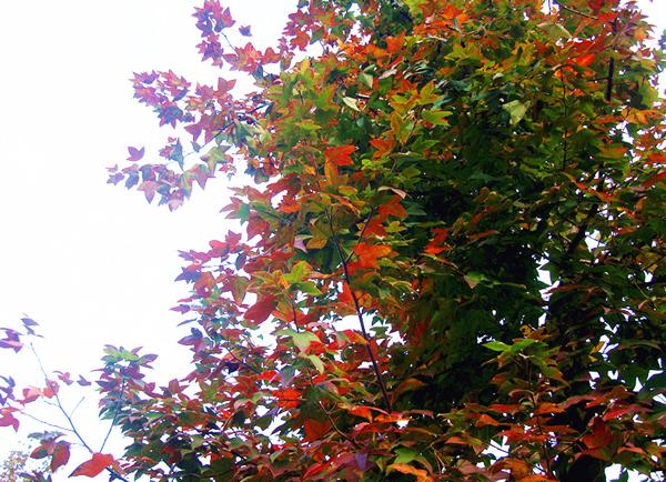 """如今,""""枫树林""""已初长成,渐成规模,红红的枫叶更是为城市增添了一道"""